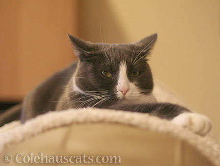 Tessa a.k.a. Scrappy MacTroublesome - © Colehauscats.com