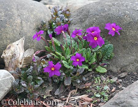 Spring Primroses - © Colehaus.com