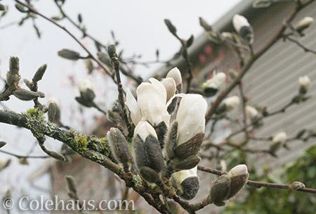 Star Magnolia buds - © Colehaus.com