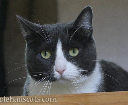 Tessa a.k.a. Sweets MacTuxieton - © Colehauscats.com