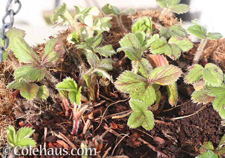 Strawberry plants coming up - © Colehaus.com