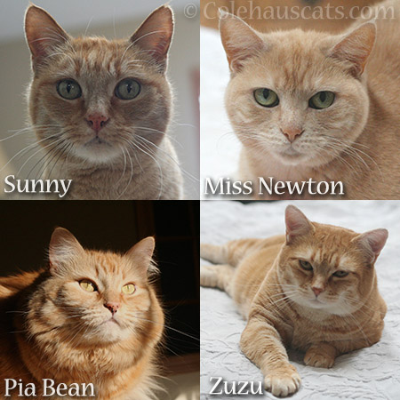 Our ginger girls - © Colehauscats.com