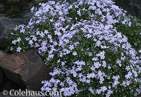 Soft lavender creeping phlox - © Colehaus.com