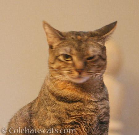 I am NOT FuzzyHead Viola - © Colehauscats.com