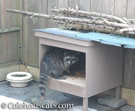 Old raccoon (Happy?) visiting our feeders - © Colehauscats.com