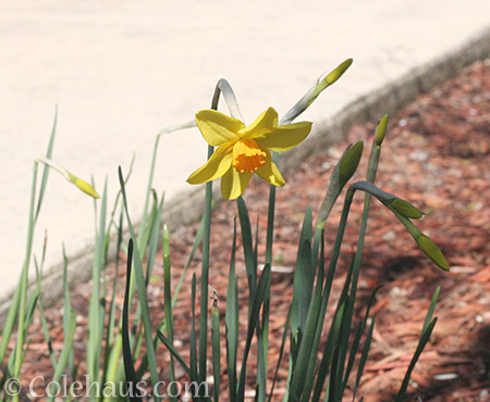 The mini daffodils survived all the rain - © Colehaus.com