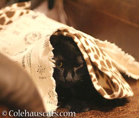 I am NOT Olivia Riding Hood - © Colehauscats.com