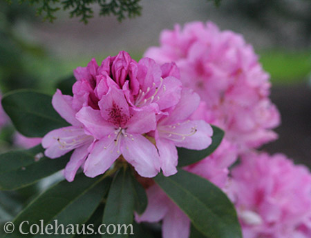 Pink Rhododendron - © Colehaus.com