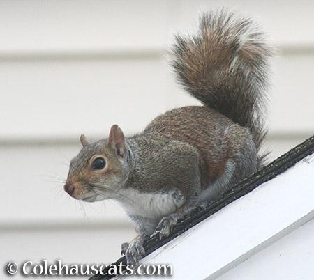 A curious squirrel - © Colehauscats.com