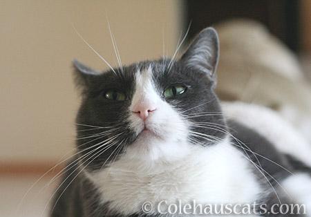 Tessa - © Colehauscats.com