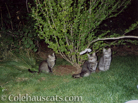 Angel Cameron and his siblings - © Colehauscats.com
