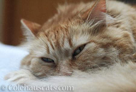 Sleepy, Poofy Pia - © Colehauscats.com