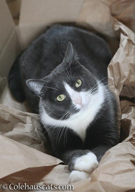 Sweet Tessa - © Colehauscats.com