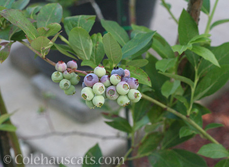Blueberries - © Colehauscats.com