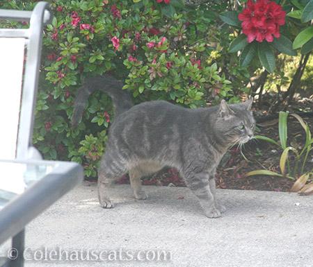 Another visiting boy cat - © Colehauscats.com