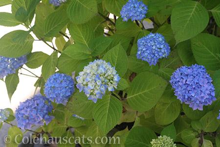 Blue Hydrangea - © Colehauscats.com