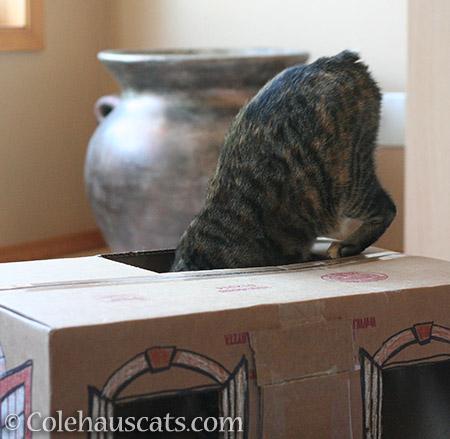 Viola always investigating - © Colehauscats.com