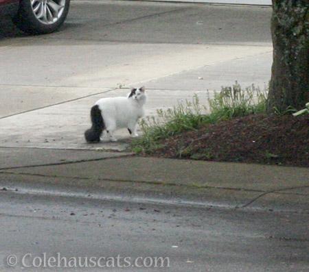 Elusive kitty still elusive - © Colehauscats.com