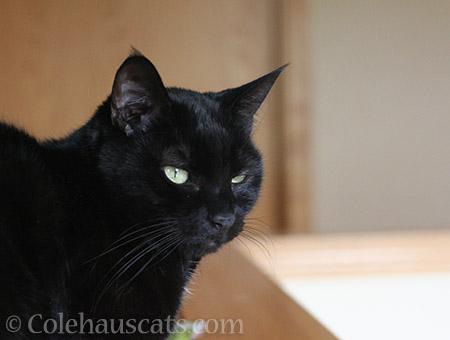 An Olivia sneer - © Colehauscats.com