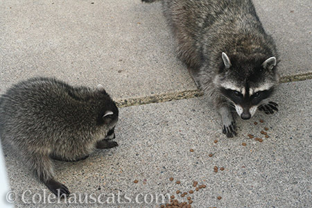 Raccoon Patches and one of her babies 2017 - © Colehauscats.com