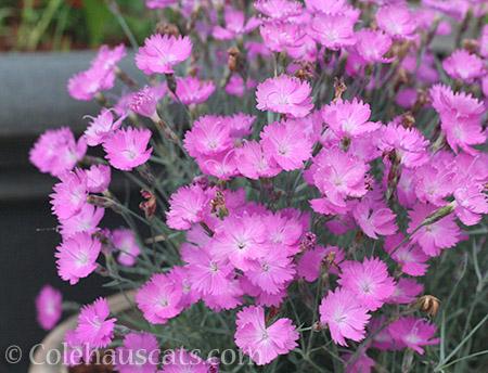Pink Dianthus - © Colehauscats.com