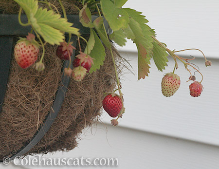 Red Strawberries - © Colehauscats.com