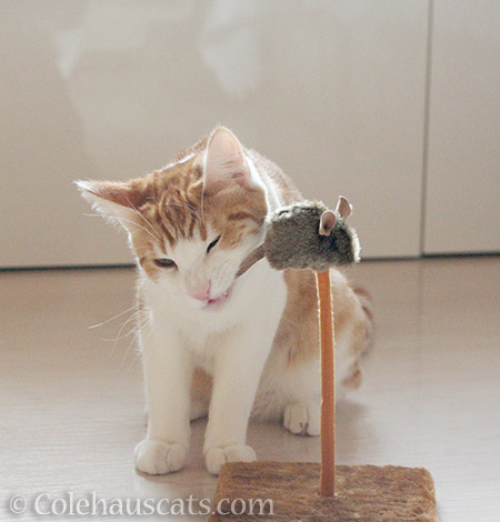 Official tail chewer - © Colehauscats.com