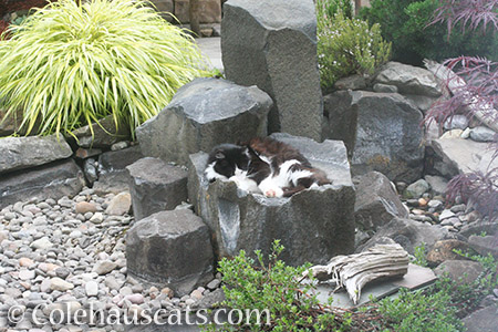 Teese naps in the dry fountain bowl - © Colehauscats.com