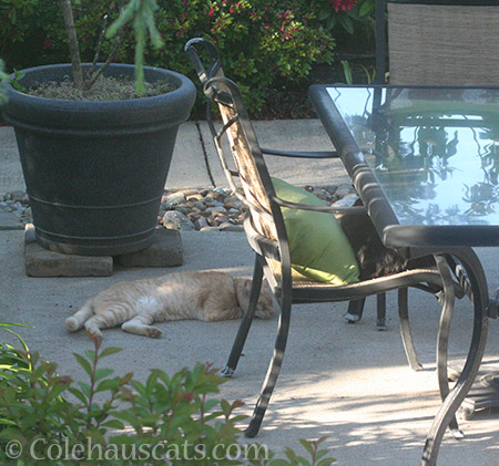 Neighbor cat W hanging with Teese - © Colehauscats.com