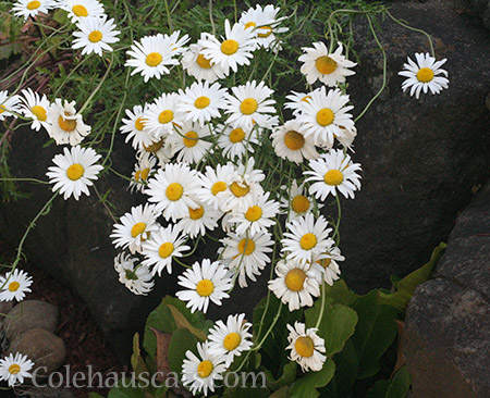 Wild Daisies - © Colehauscats.com