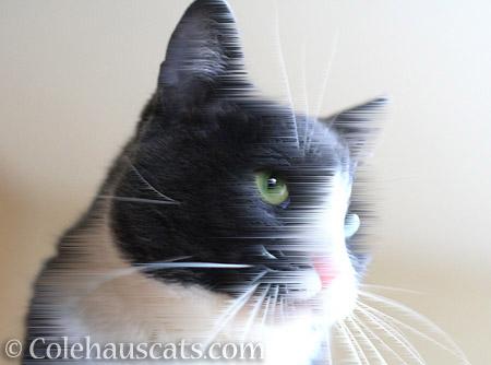 Windblown Tessa - © Colehauscats.com