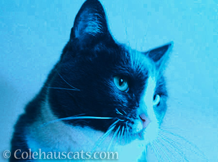 Cool Blue Tessa - © Colehauscats.com
