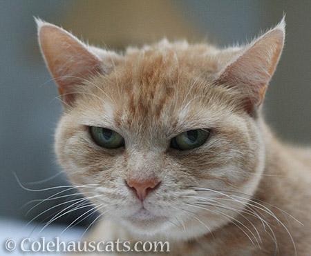 Displeased Miss Newton - © Colehauscats.com