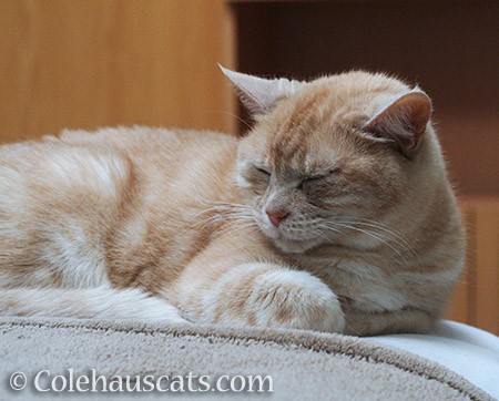 Miss Newton takes a nap - © Colehauscats.com
