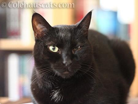 Olivia - © Colehauscats.com
