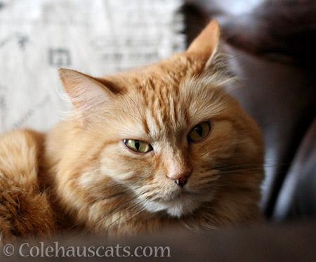 Pia Grumpie - © Colehauscats.com