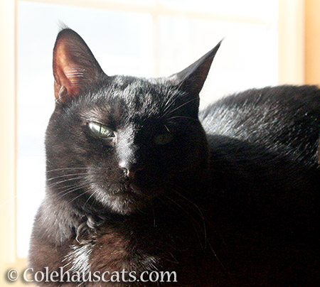 Shiny Olivia - © Colehauscats.com