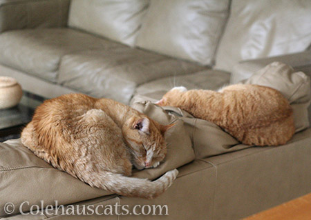 Sunny and Zuzu naps - © Colehauscats.com