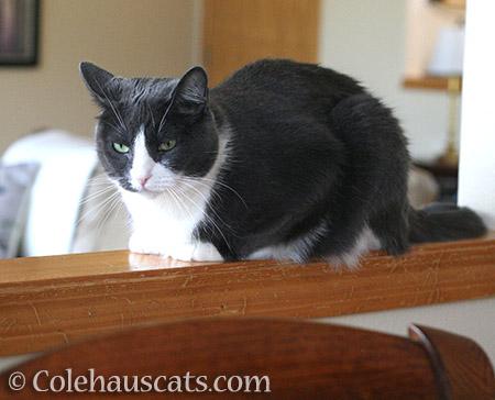Tessa Grumpie - © Colehauscats.com