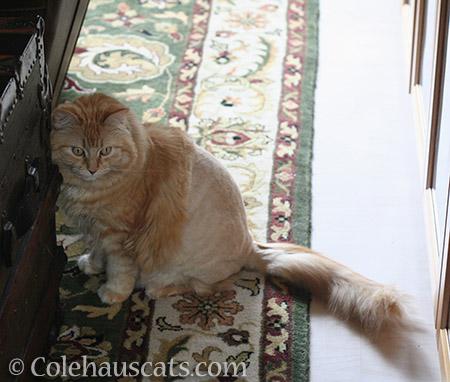 DeFloofed Pia - © Colehauscats.com