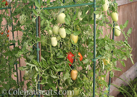 2017 was a good year for Roma tomatoes - © Colehauscats.com