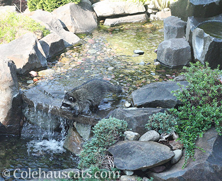 Raccoon baby cooling off - © Colehauscats.com