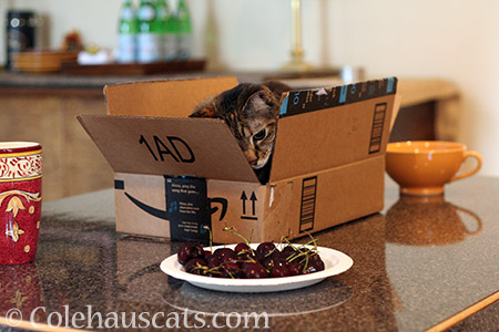 Viola, Professional Fruit Snagger - © Colehauscats.com