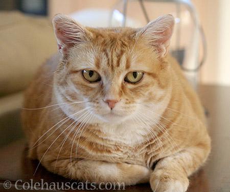 Zuzu - @ Colehauscats.com