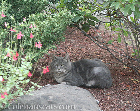 Mac in the Garden, September 2017 - © Colehauscats.com
