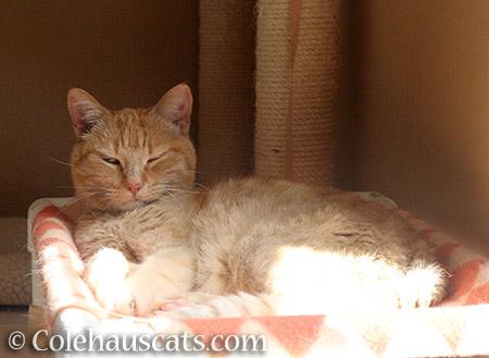 Sunny - © Colehauscats.com