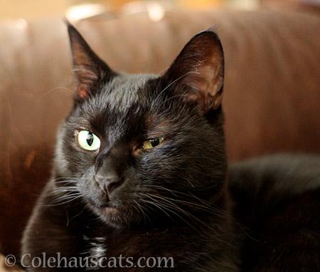 Skeptical Olivia is skeptical - © Colehauscats.com