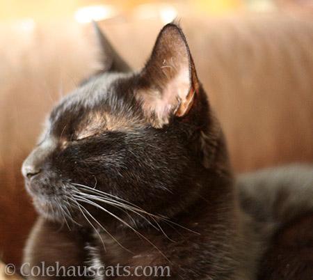 Olivia is ignoring you - © Colehauscats.com