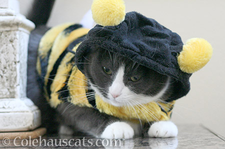 Tessa, the Bee - © Colehauscats.com