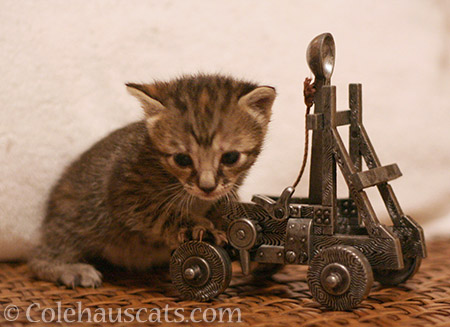 Wee Viola rolls out the Trebuchet, 2013 - © Colehauscats.com